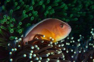 Anemone Fish Thailand Vruce A. Campbell
